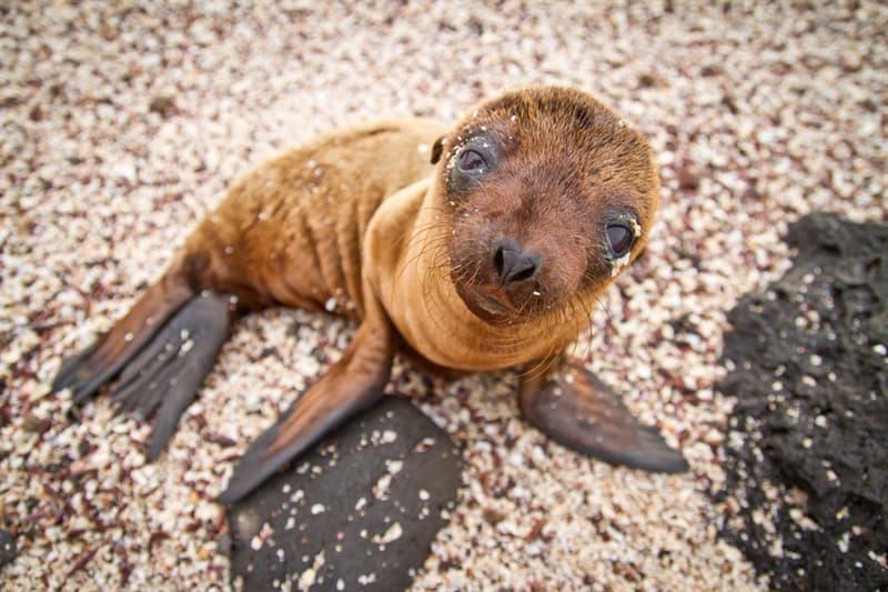 Nature Story: #15 Galapagos sea lion pup