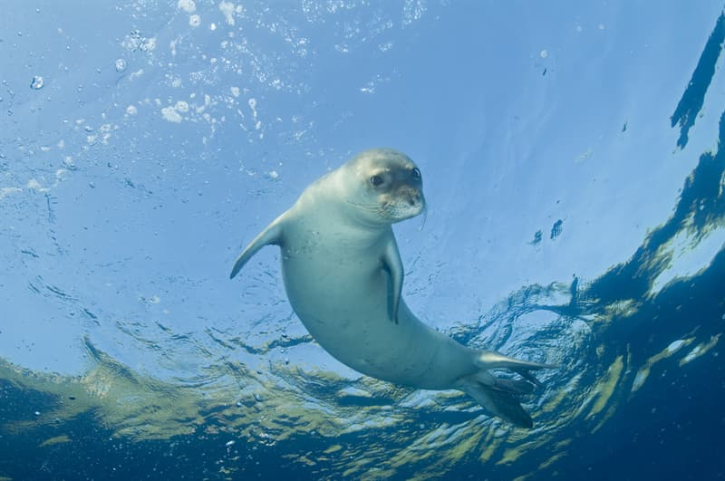 Nature Story: #7 Mediterranean monk seal