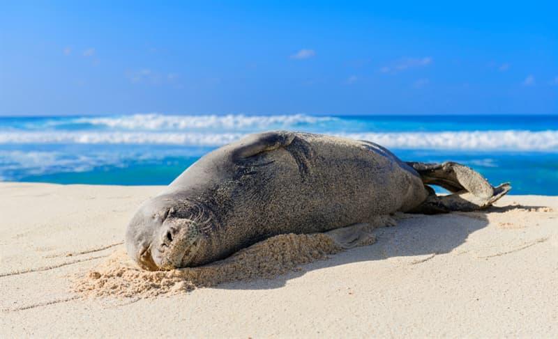 Nature Story: #8 Hawaiian monk seal