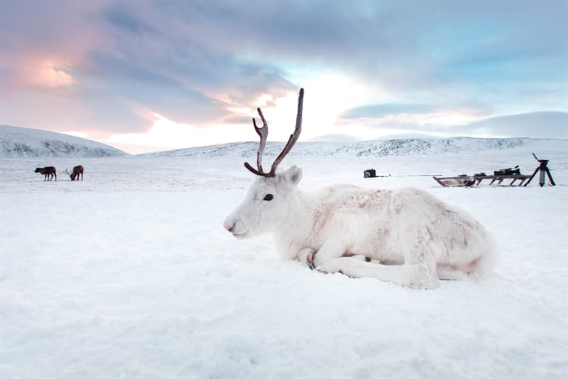 Geography Story: #8 Gorgeous reindeer