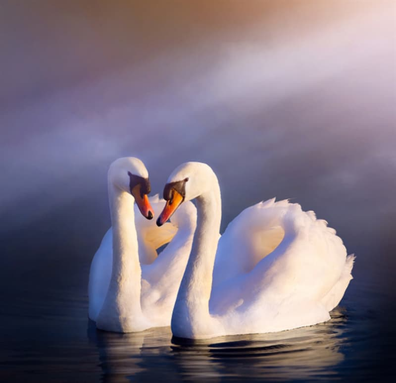 Nature Story: #10 In courtship, swans perform mating dances, swim synchronously and sing together. After that, they are bonded for life.