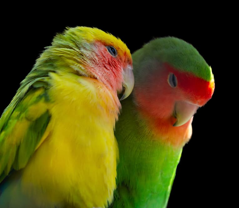 Nature Story: #3 Lovebirds mate for life and like feeding each other to feel closer. They get severely depressed if their partner dies