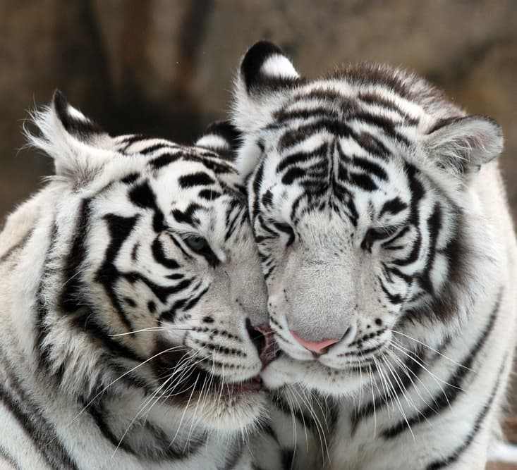 Nature Story: #2 Male tigers fearlessly defend their mating partner and may even kill for them