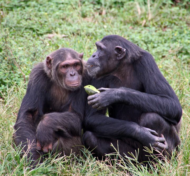 Nature Story: #4 Bonobos spend a lot of time with their partner, playing romantic games and building a strong family together