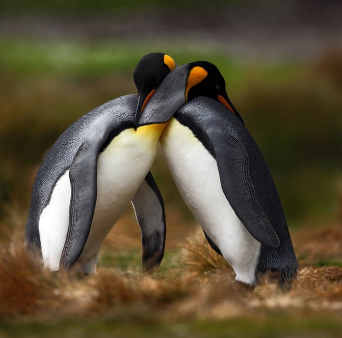 Nature Story: #7 Most penguins are monogamous. Loving parents take turns keeping their eggs warm.