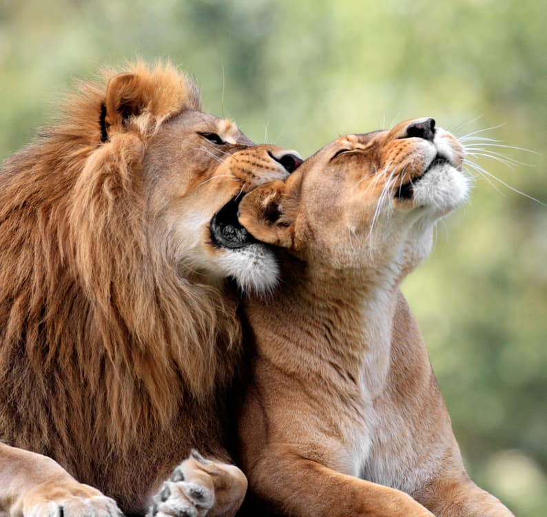 Nature Story: #8 Lions are the most social big cats – they live in close family groups, hunt and defend their territory together. Females usually do most of the hunting.