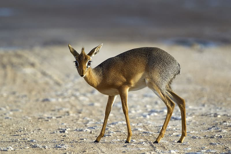 Nature Story: #1 A fully grown dik-dik is 12-16 inches (30-40 cm) tall and weighs up to 14 pounds (6 kg)