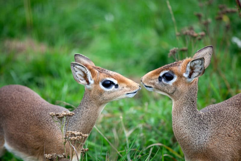Nature Story: #4 Dik-diks mate for life and live in couples.