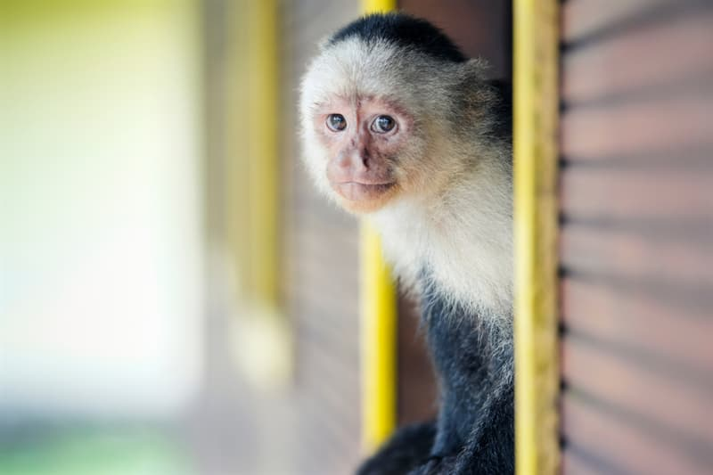 Nature Story: #3 Capuchin Monkeys