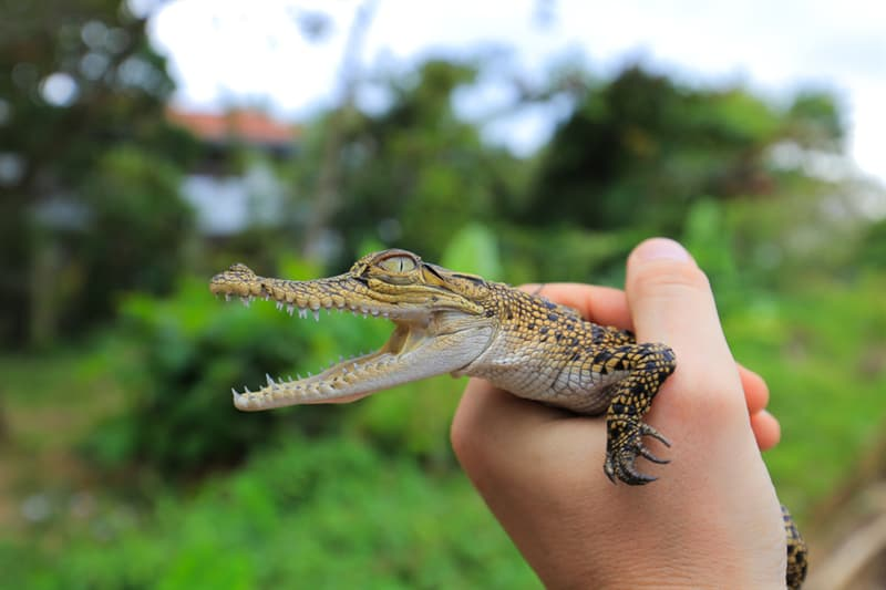 Nature Story: #5 Crocodiles