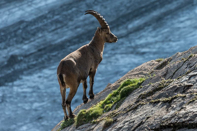 Geography Story: #13 The Alpine ibex in Nationalpark Hohe Tauern, Carinthia Austria, by Bernd Thaller - 3rd place, 2013
