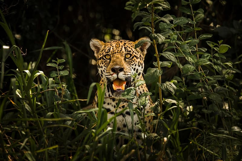 Geography Story: #21 A jaguar in the Pantanal Conservation Area of Brazil by Leonardo Ramos - 2nd place, 2017