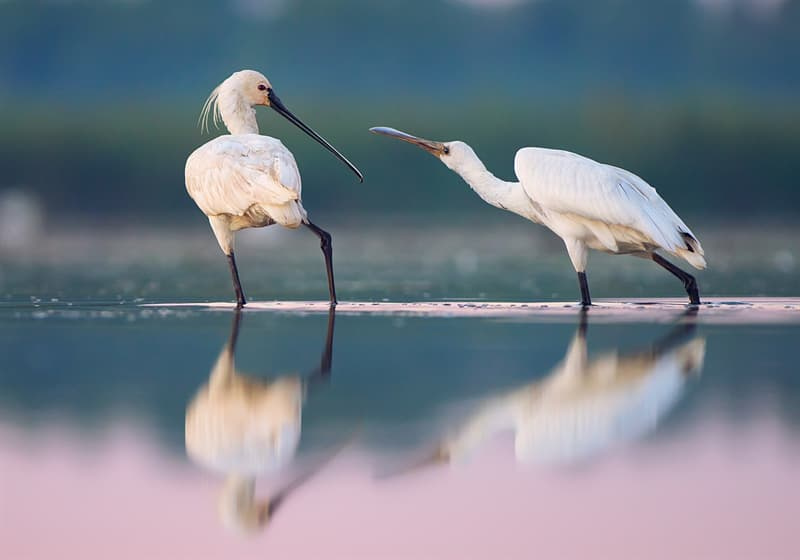 Geography Story: #22 A pair of Eurasian spoonbills in the Danube Biosphere Reserve, Ukraine by Ryzhkov Sergey - 3rd place, 2017