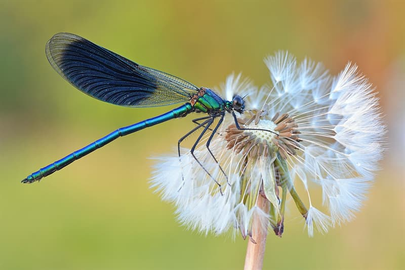 Geography Story: #28 Banded demoiselle at NSG Gülper See lake. Brandenburg, Germany by Sven Damerow - 1st place, 2019