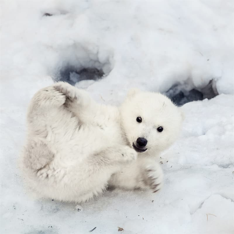 Nature Story: curious baby polar bear facts