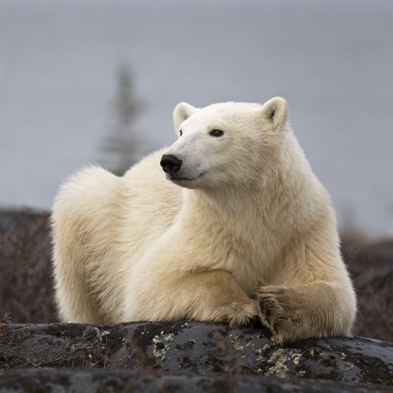 Nature Story: curious polar bear facts