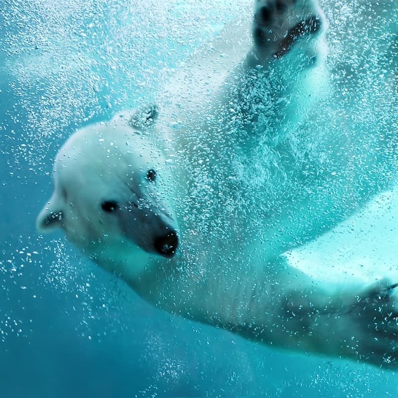 Nature Story: curious vulnerable polar bear facts endangered animals