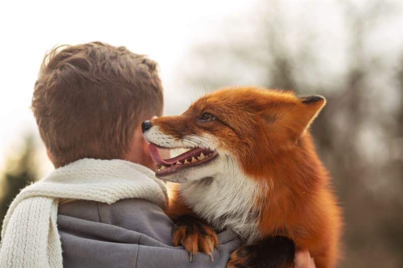 Nature Story: Pet Foxes vs. Wild Foxes cute red fox animal
