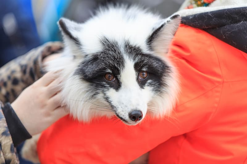 Nature Story: Fur of Pet Foxes cute animal red fox