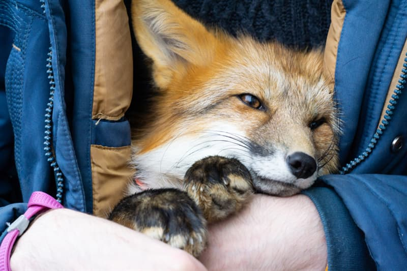 Nature Story: Example of Cuddling pet fox cute animal