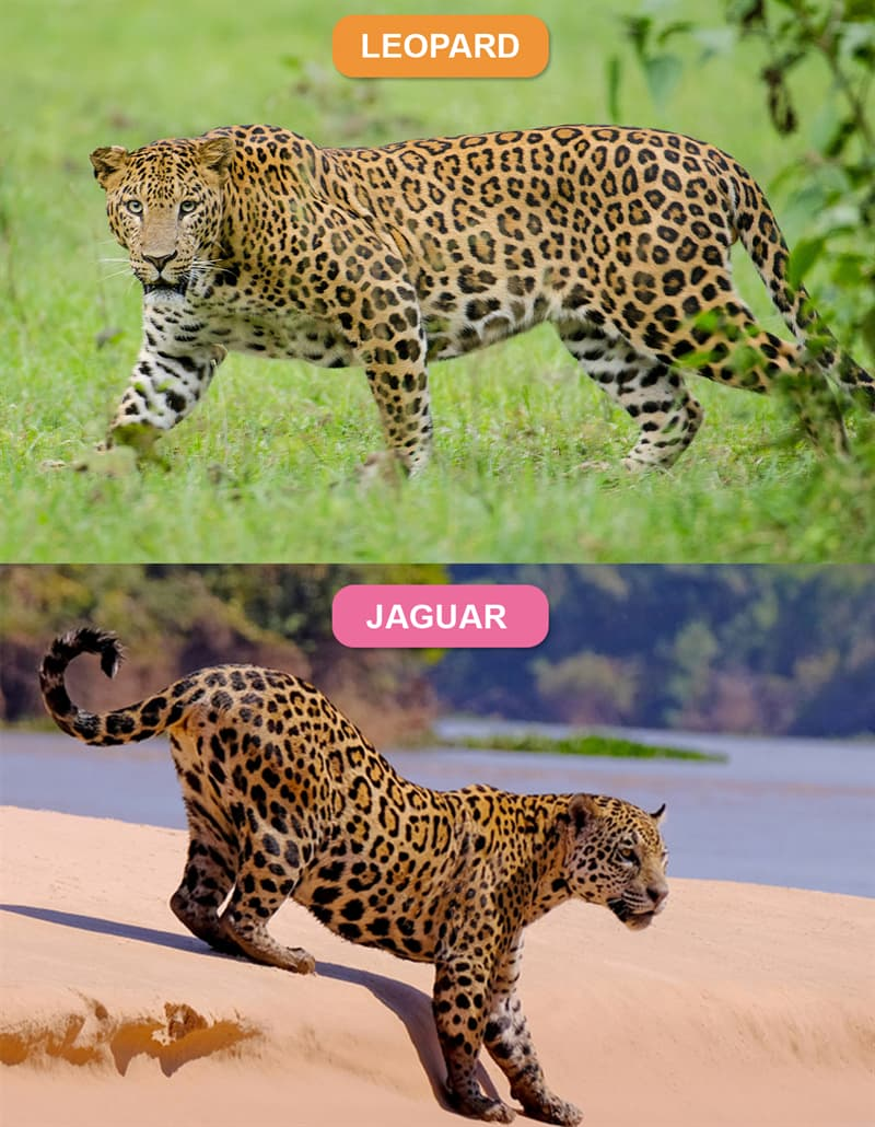 Nature Story: #2 Leopard vs. Jaguar