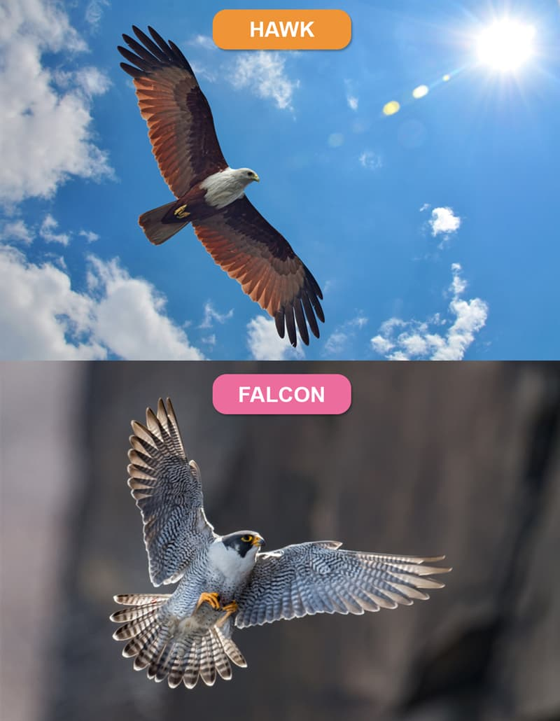 Nature Story: #5 Hawk vs. Falcon