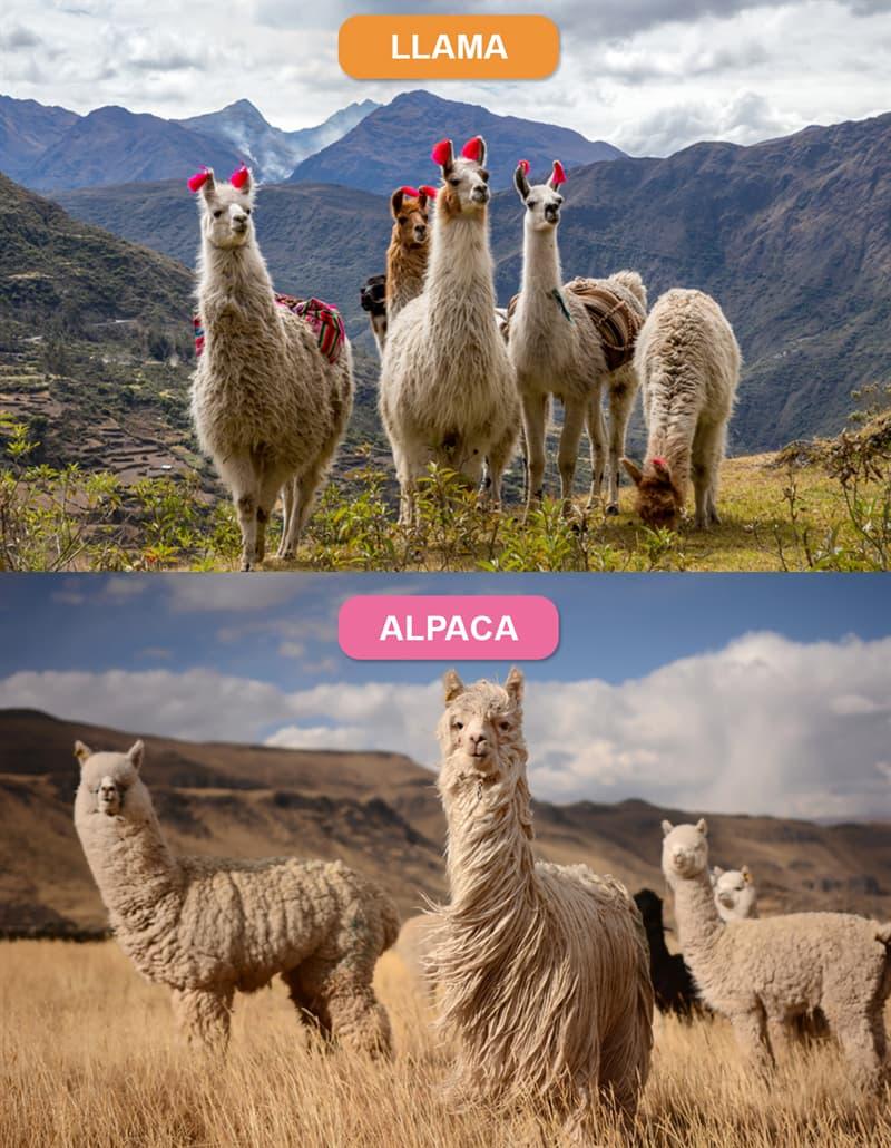 Nature Story: #6 Llama vs. Alpaca