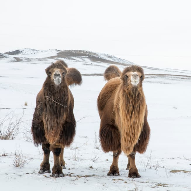 Geography Story: #19 A small population of the critically endangered wild Bactrian camel lives in Mongolia. Only about 1,400 of them are left in the world. A larger population lives in China. It is the only truly wild species of camel in the world. Bactrian camels have two humps