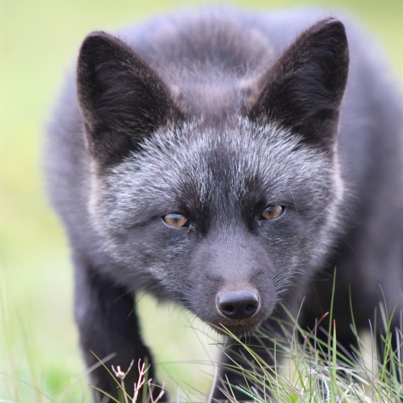 Nature Story: Black fox and silver fox facts: are there black foxes?