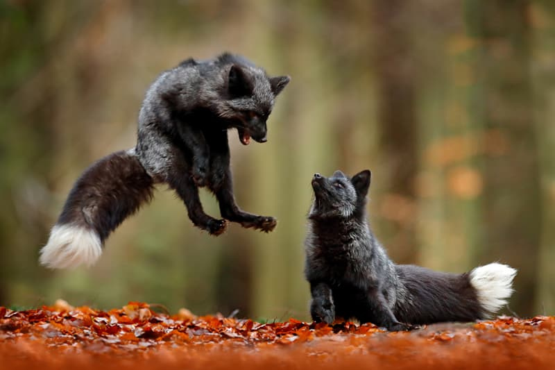 Nature Story: Melanism in silver foxes