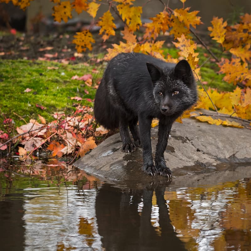 Nature Story: Black fox and silver fox facts