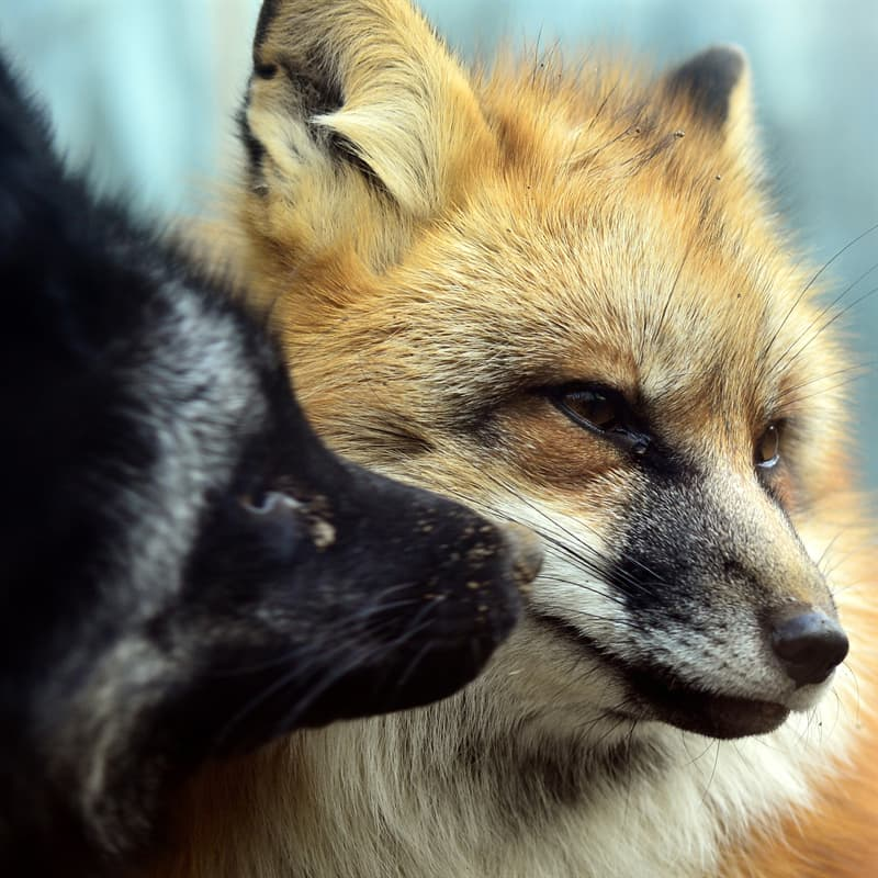 Nature Story: Black fox and silver fox facts habitat