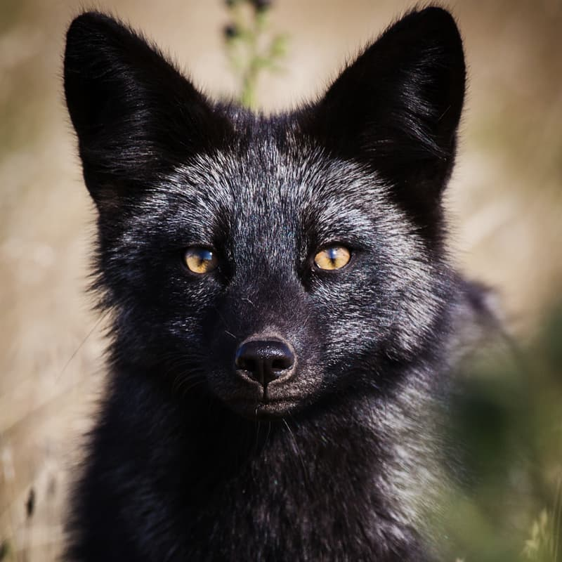 Nature Story: Black fox and silver fox facts melanism eyes