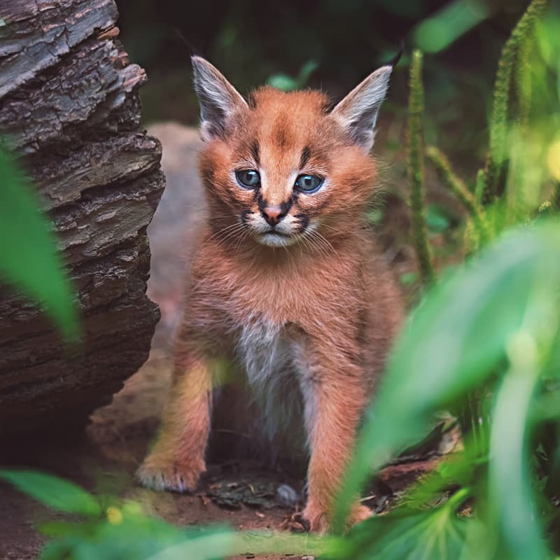 Nature Story: ​#4 Caracal kittens are born with their ears furled