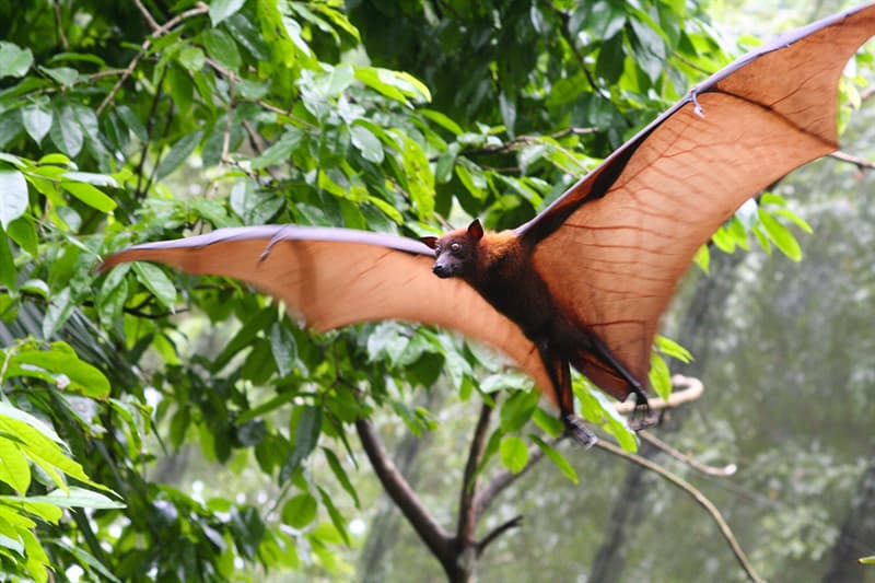 Nature Story: giant golden crowned flying fox wingspan
