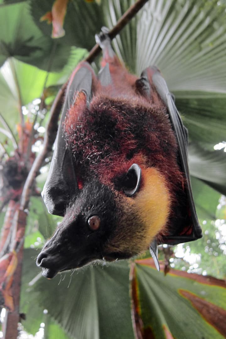 Nature Story: giant golden crowned flying fox baby