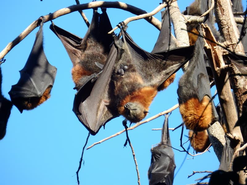 Nature Story: giant golden crowned flying fox roosts
