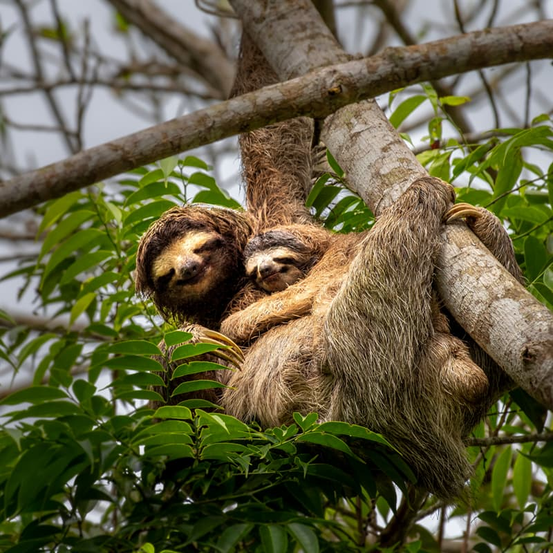 Nature Story: Interesting baby sloth facts