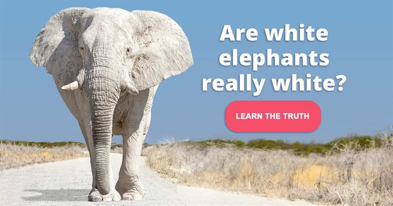 animals Story: Albino elephants - facts about rare animals