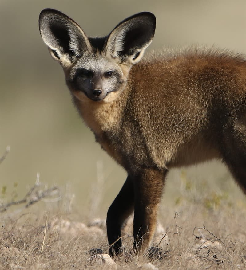 Nature Story: bat-eared fox ears