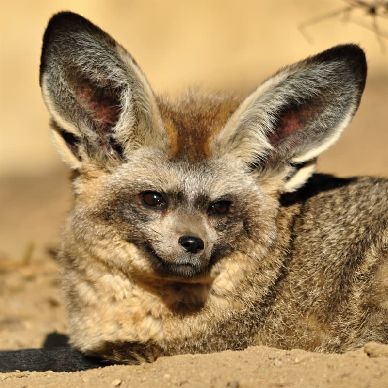 Nature Story: what does bat-eared fox eat