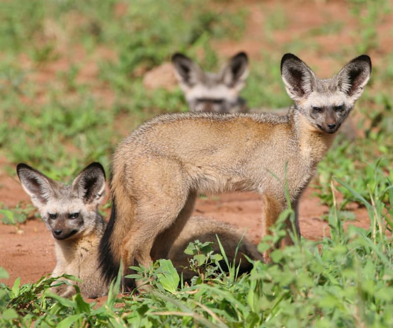 Nature Story: bat-eared fox facts tail