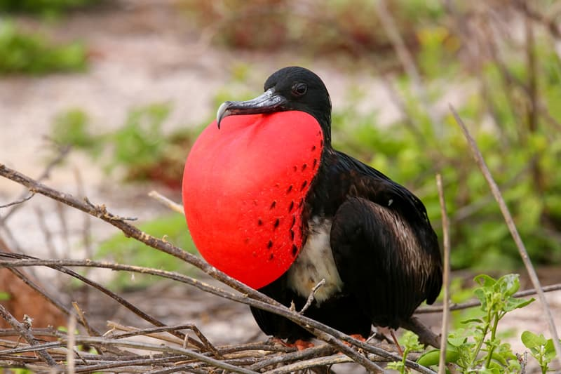 Nature Story: Magnificent Frigatebird