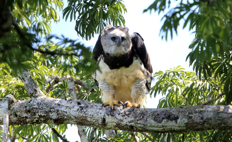 Nature Story: Harpy Eagle