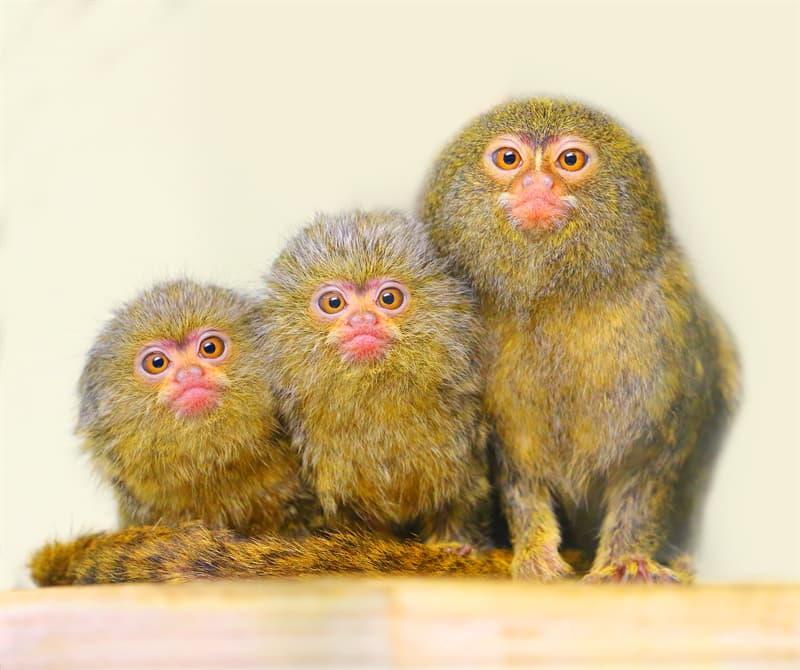 Nature Story: Best animals dads pygmy marmoset