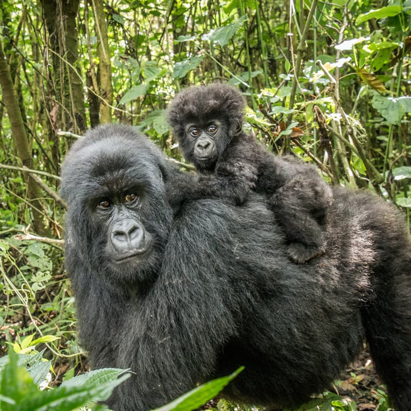 Nature Story: Best animal dads gorilla father