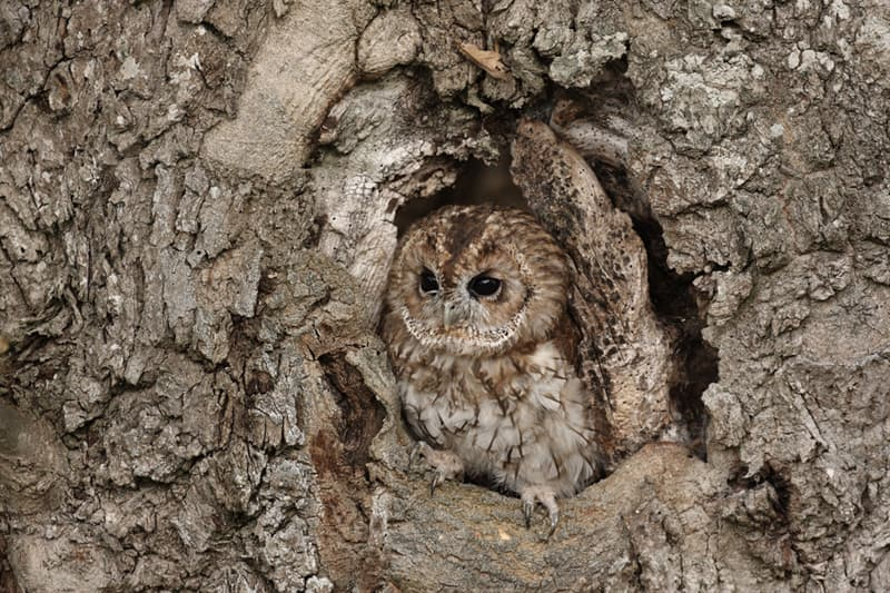Nature Story: Owl camouflaged in tree