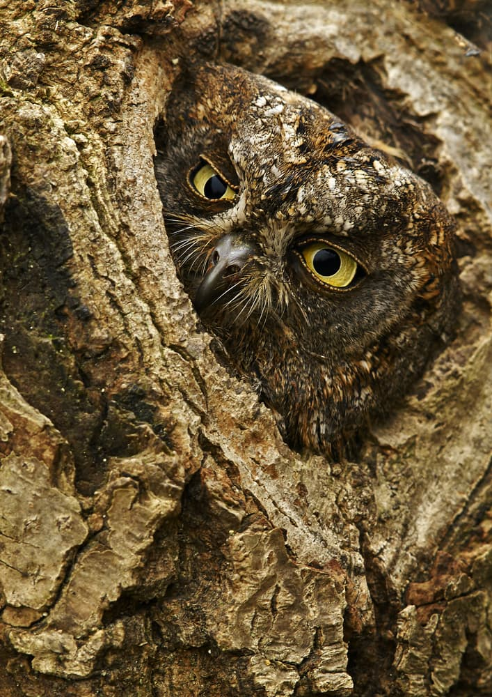 Nature Story: European scops owl