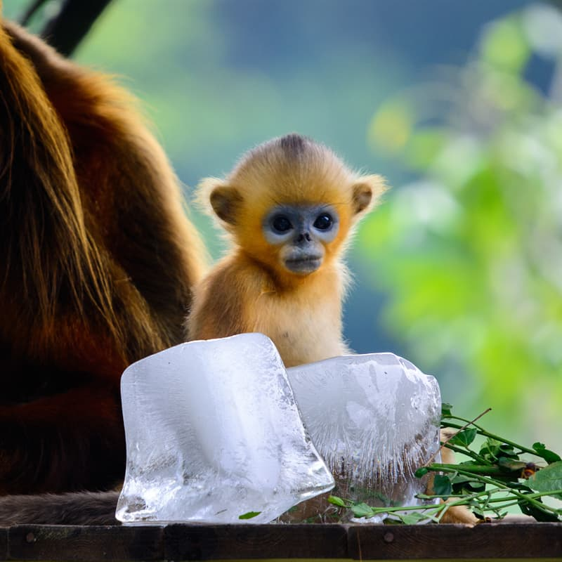 Nature Story: Baby golden snub-nosed monkey