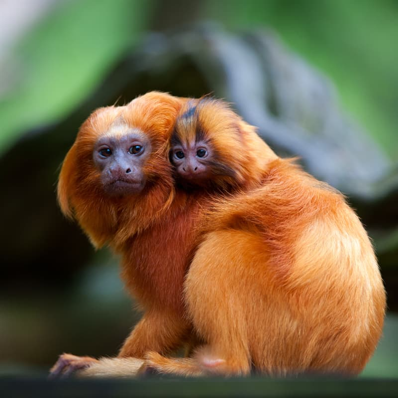 Nature Story: Golden lion tamarin baby